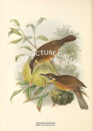 XANTHOTIS CHRYSOTIS - Golden-eared Honey-eater